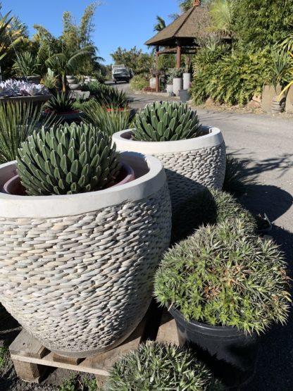 60cm pebble white pots with agave Victoria Reginae