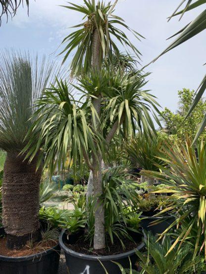 Dracaena Cochinchinensis Feature Size 4m tall