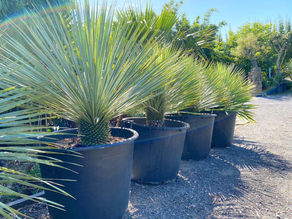 Yucca Rostrata Sapphire skies 100L