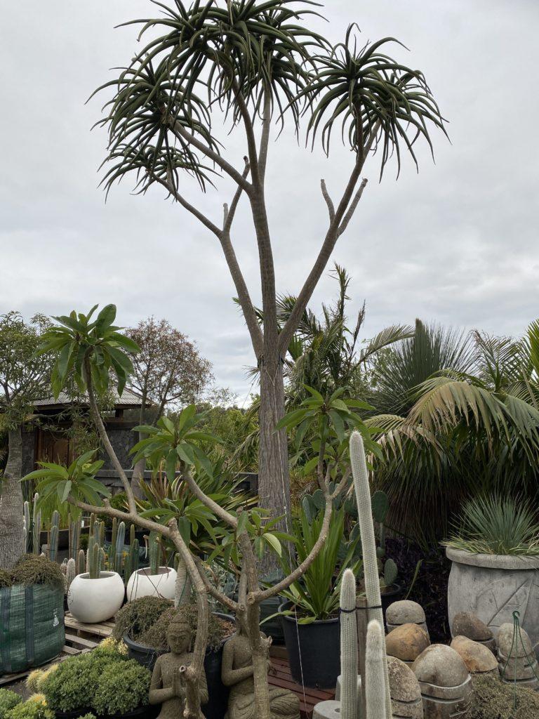 1000L Tree Aloe Barberae 7m tall