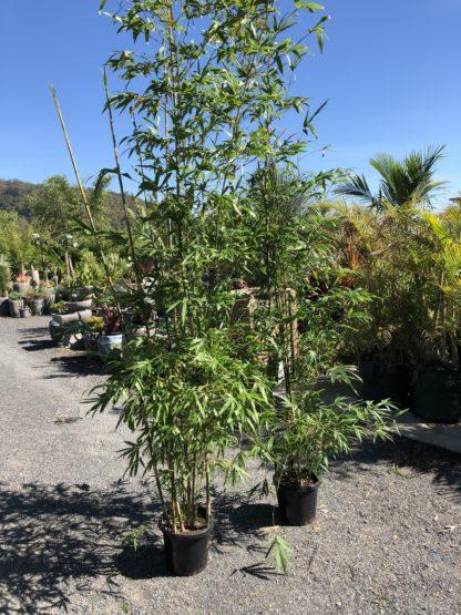 Current 300mm pots of gracilis Slender weaver bamboo biggest on the market!