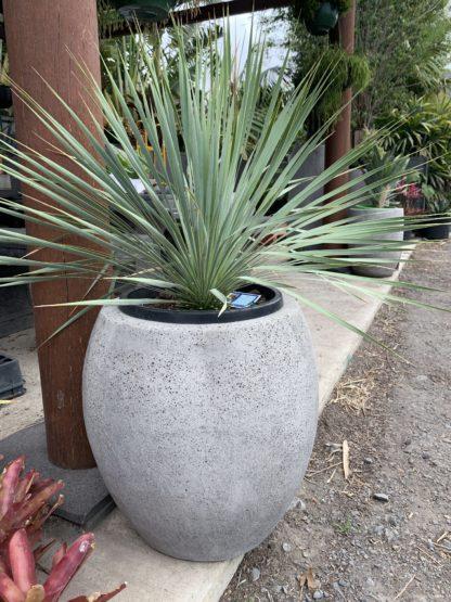 Yucca rostrata in small concrete pot