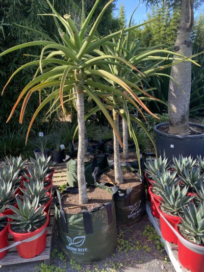 Tree Aloe Barberae 100L