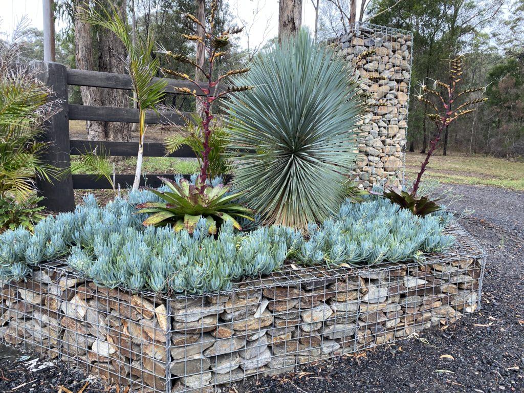 Yucca Rostrata Blue Sapphire skies in garden south coast