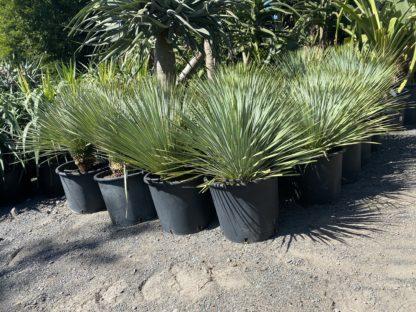 Yucca Rostrata Sapphire skies 45L
