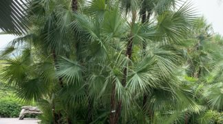 "Chamaerops Humilis ""European Fan Palm"""