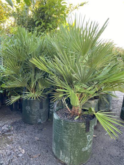 Chamaerops Humilis European Fan palm 45L