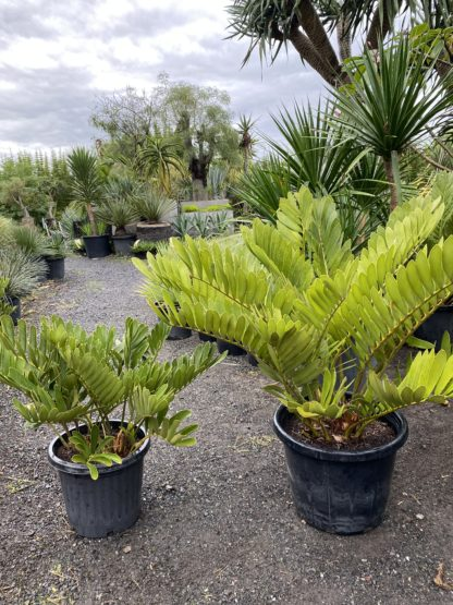 Cardboard cycad 300mm (left) and 400mm (Right)