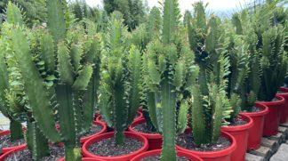 Euphorbia Acruensis Cowboy cactus 300mm pot