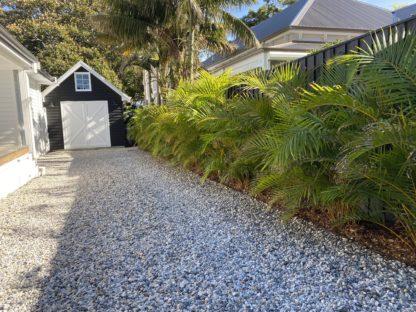Golden cane palm hedge