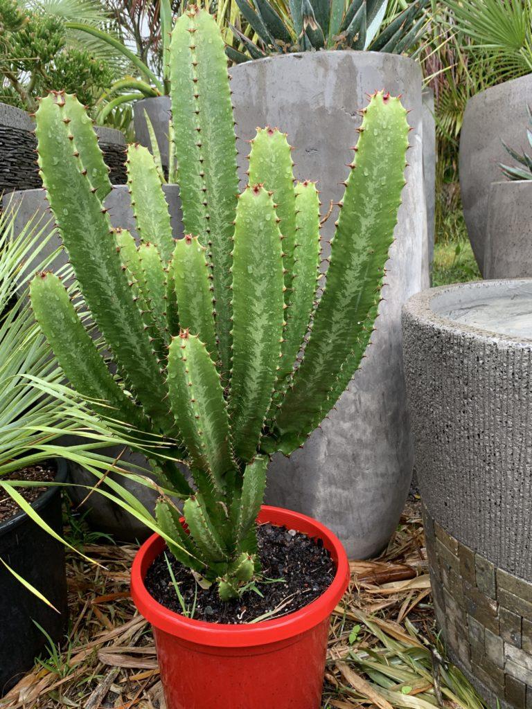 """Euphorbia Acruensis """"Cowboy"""" 300mm pot"""