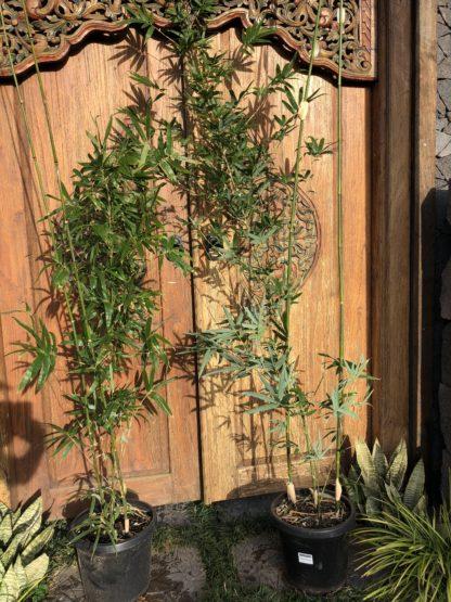 Goldstripe/Creamstripe bamboo 2m tall 300mm pot