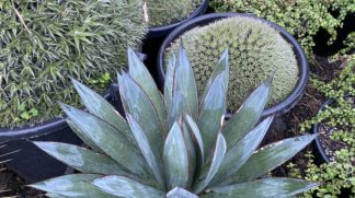 Agave Blue Glow 400mm pot