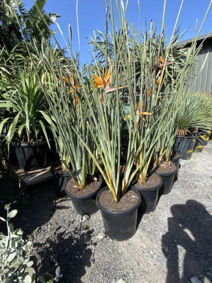 Strelitzia Juncea Leafless bird of paradise 300mm pot