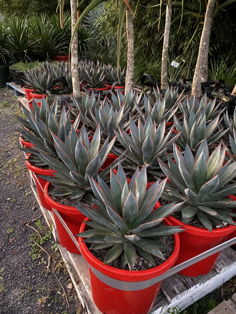 Agave Blue glow 300mm