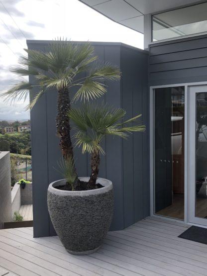 90cm Slate pot planter featuring European Fan palm
