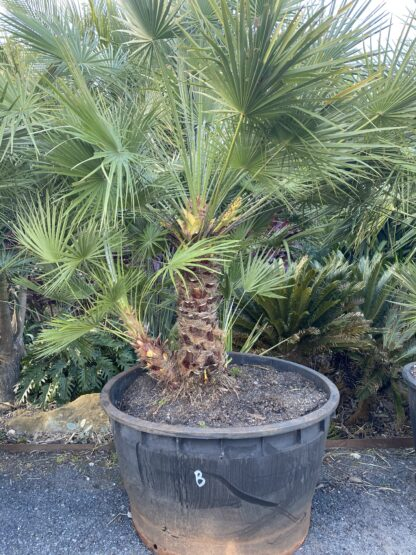 "Chamaerops Humilis ""European Fan Palm"" 300L $5500"