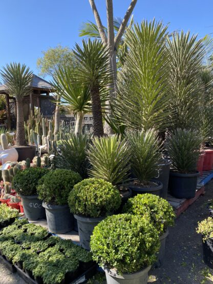 Yucca Filifera garden