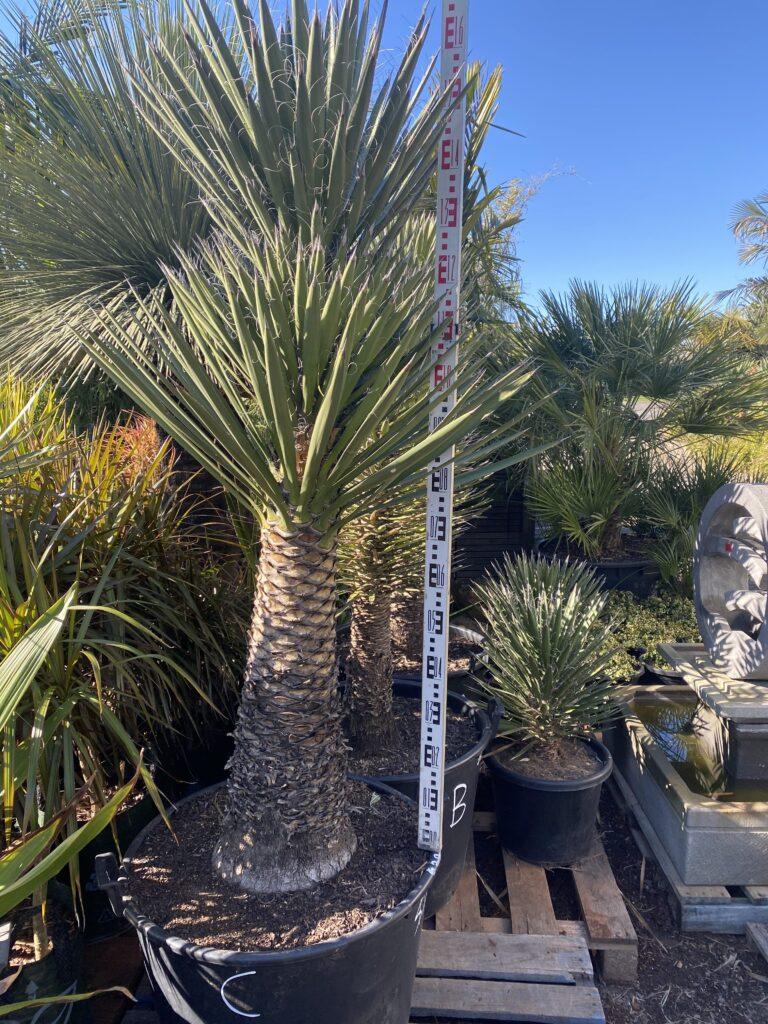 Yucca Filifera 150L $2200