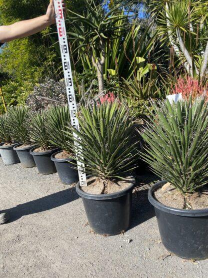 Yucca Filifera 400mm $770