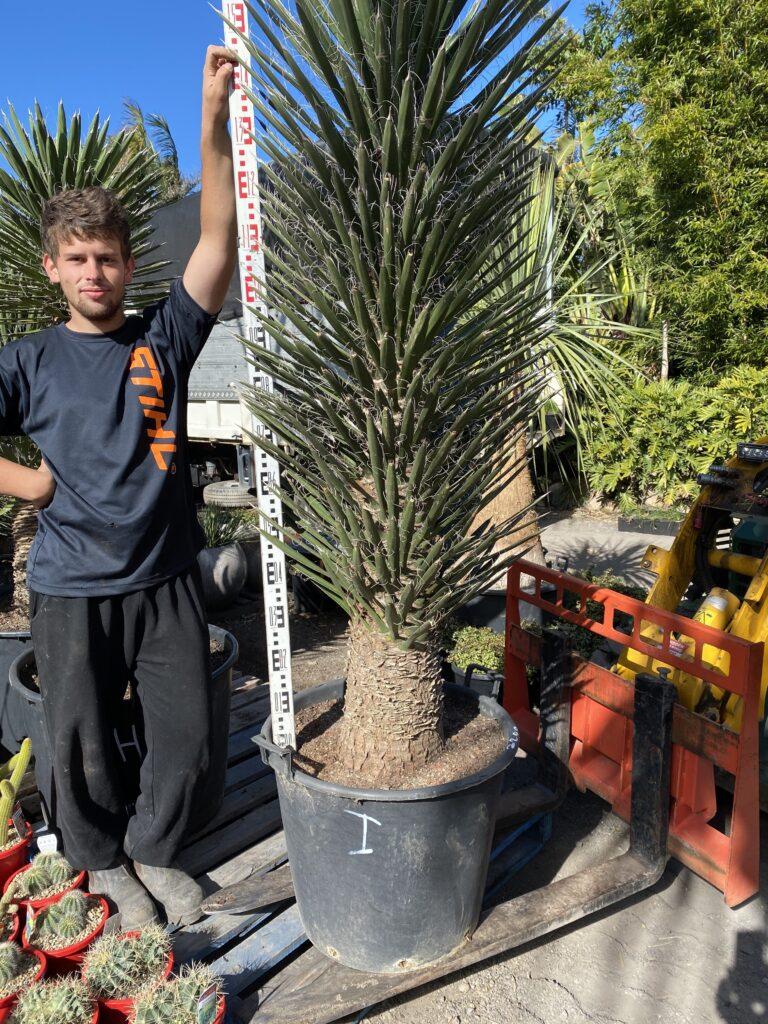 Yucca Filifera 110L $2200