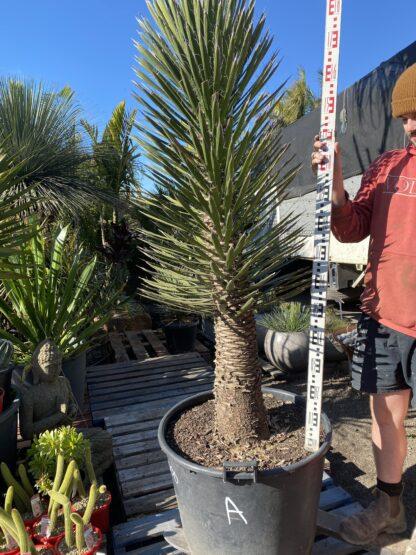 Yucca Filifera 110 L $2200