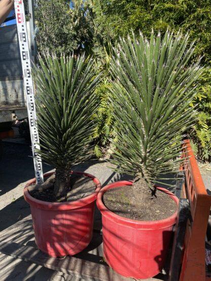 Yucca Filifera 500mm pot 1m tall $880