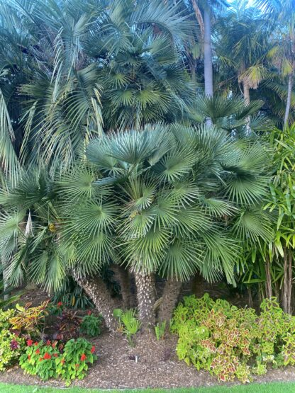 European Fan Palm Sydney