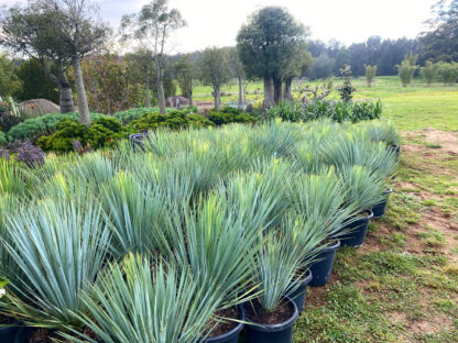 Yucca rostrata 400mm pots Oct 2020