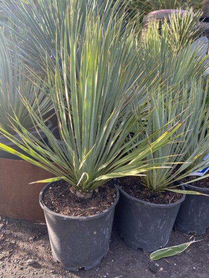 Yucca rostrata 200mm pot $88