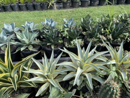 Agave Galactic traveller 300mm pots