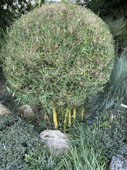 Bambusa Wamin striata Variegated giant budha belly