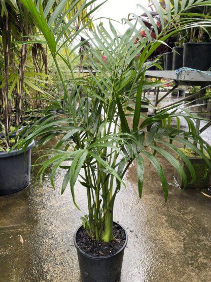 Cascade palm 200mm pot