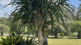 Aloe Barberae Tree Aloe
