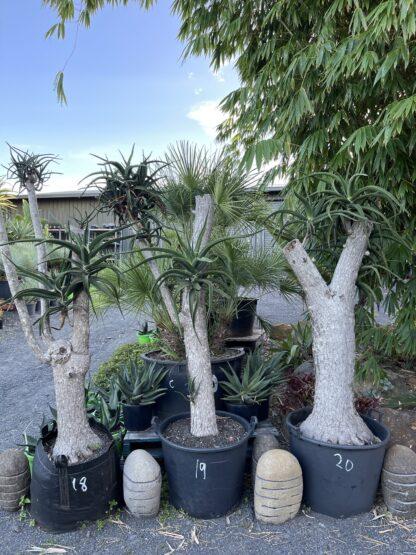 Aloe tree 200L sculptured 18 19 20