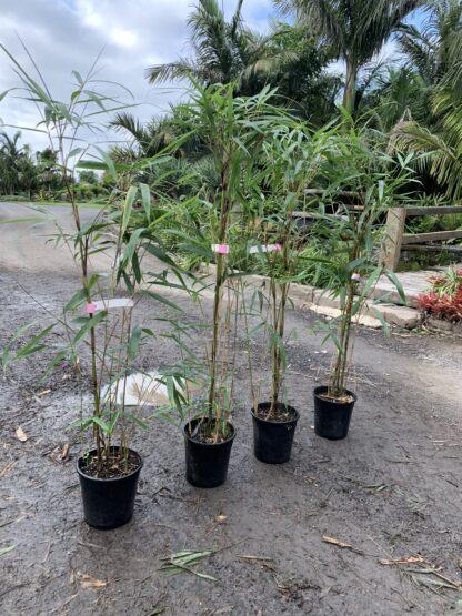 Arrow Bamboo 200mm pots