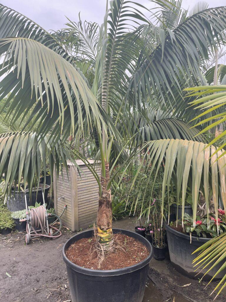Kentia Palm 300L sun grown 2.6m