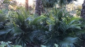 Cascade palm (Chameodora Atrovirens)