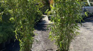 Bambusa compacta 300mm pot