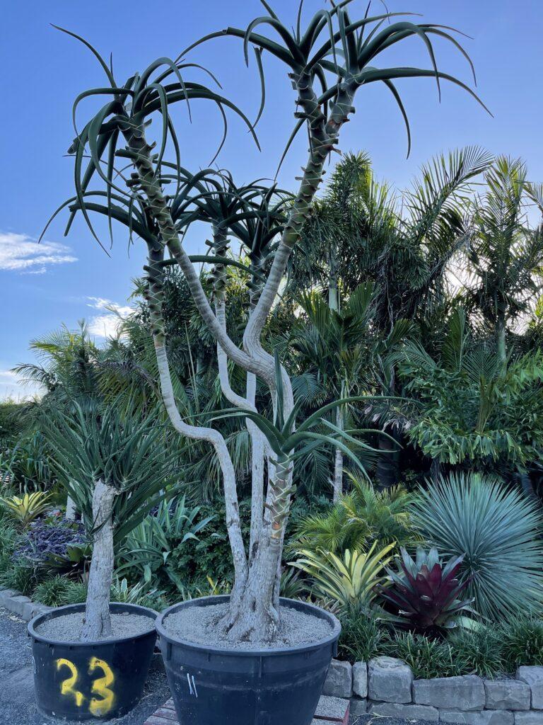 Aloe Tree 300L tree no.11  5m tall
