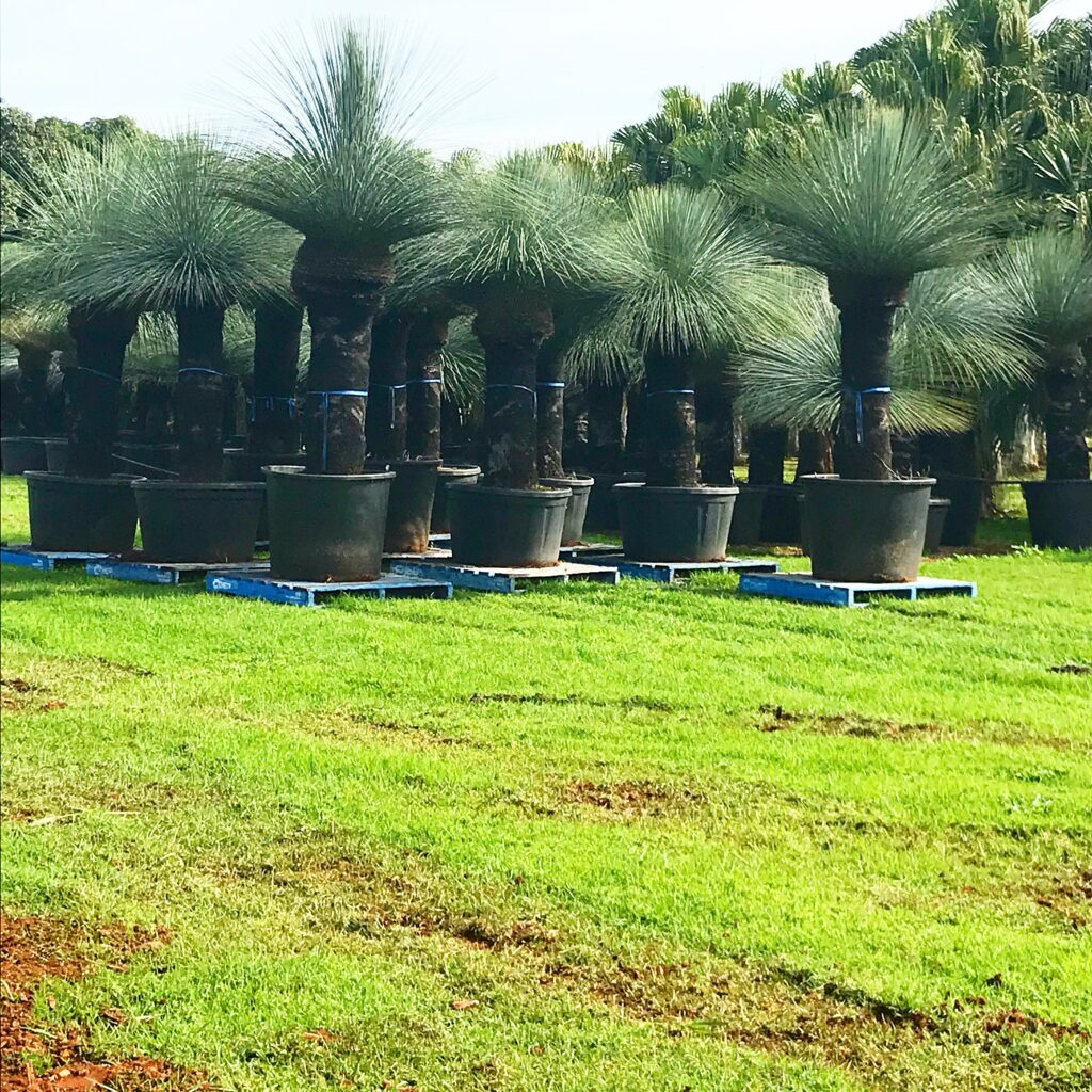 Blue grass trees in pots Bamboo South Coast