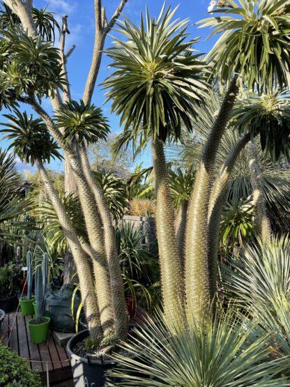 Advanced madagasgar palm Pachypodium Lamerii