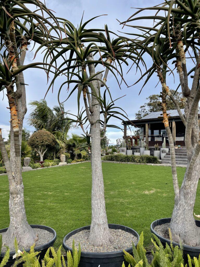 Tree Aloe Barbera 260L