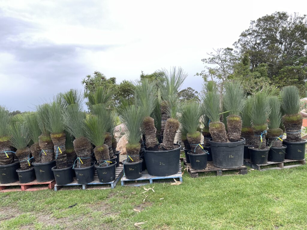 Blue grass trees cm size on pot