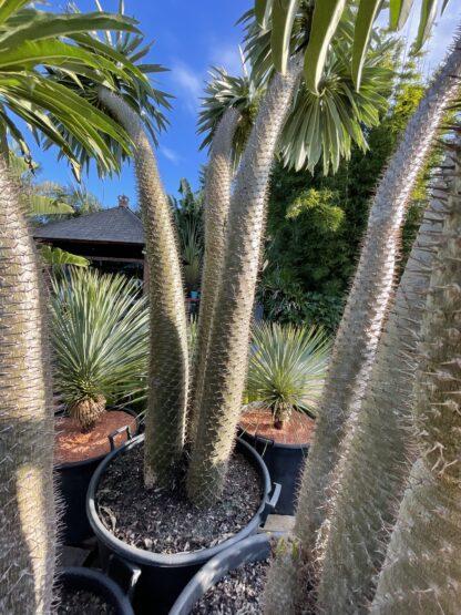Madagasgar Palm Pachypodium Lamerii